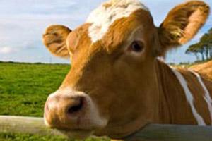 The Profound Lesson Cows Can Teach Us About Leading People